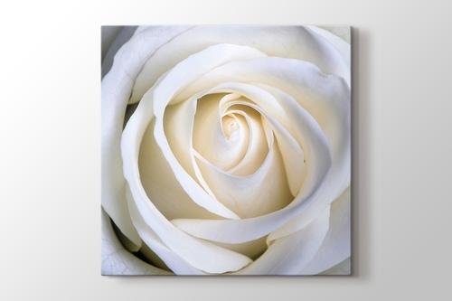 White Rose görseli.