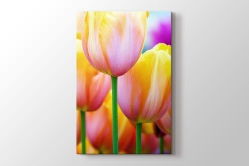 Colored Tulips görseli.