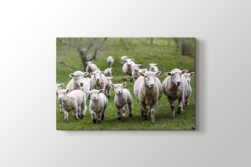 Kuzu ve Koyunlar görseli.