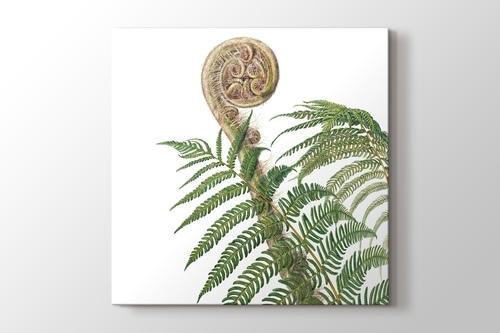 Cyathea Australis görseli.
