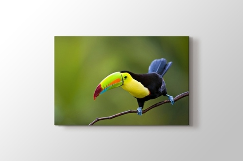 Keel Billed Toucan Central America görseli.