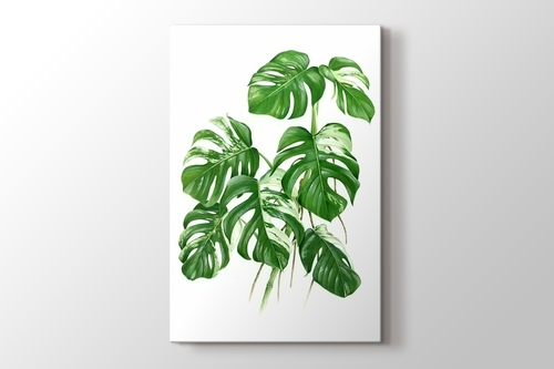 Variegated Cheese Plant - Monstera görseli.
