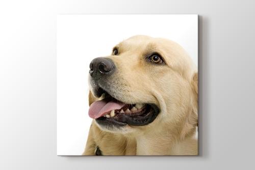 Labrador görseli.