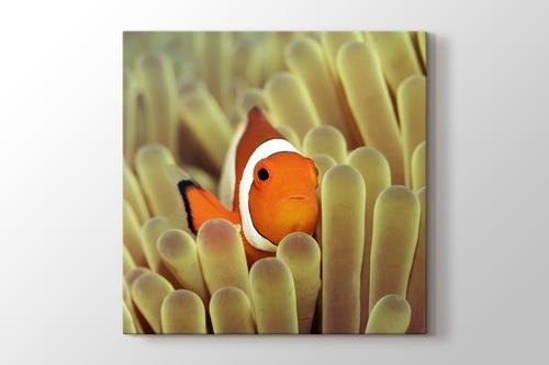 Clownfish over Sponges görseli.