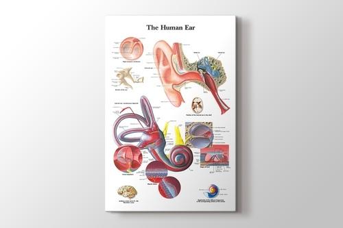 Human Ear Chart görseli.