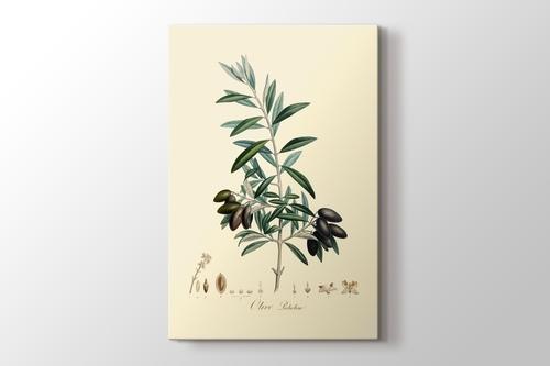 Olive Picholine görseli.