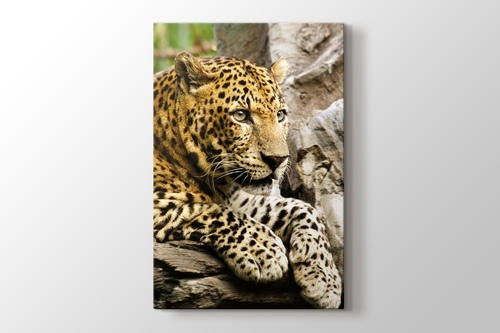 Panthera Pardus görseli.