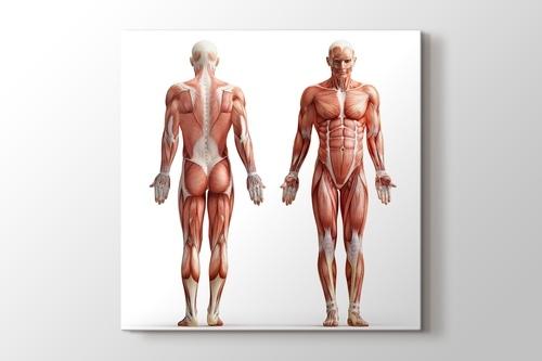 İnsan Anatomisi görseli.
